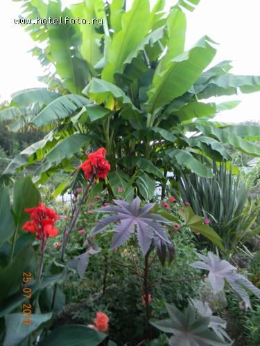 Банановая пальма во дворе пицунда